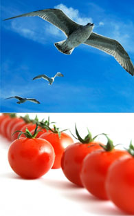 Seagulls and tomatoes